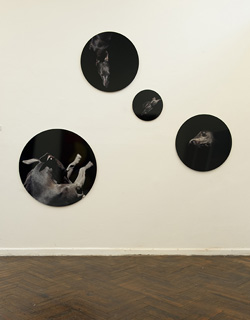 Jo Longhurst, Vue d'installation : <em>Élevage/Race</em>, 2005, 4 épreuves chromogéniques montées sur aluminium, 963 mm, 710 mm x 2, et 380 mm de diamètre, aire d'installation variable, New Contemporaries, Biennale d'art contemporain de Liverpool, 2008