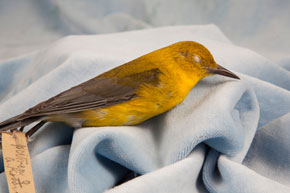 Sara Angelucci, Female Prothonotary Warbler (endangered), 2012